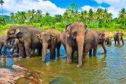 šrilanka sloni